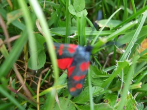 red and black moths, west cork