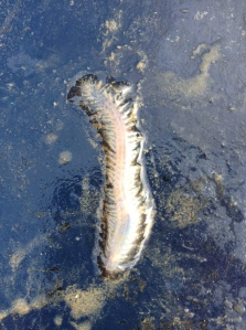 water millipede, ireland
