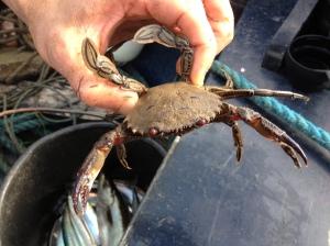 swimming crabs, ireland