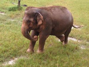 elephant conservation volunteering thailand