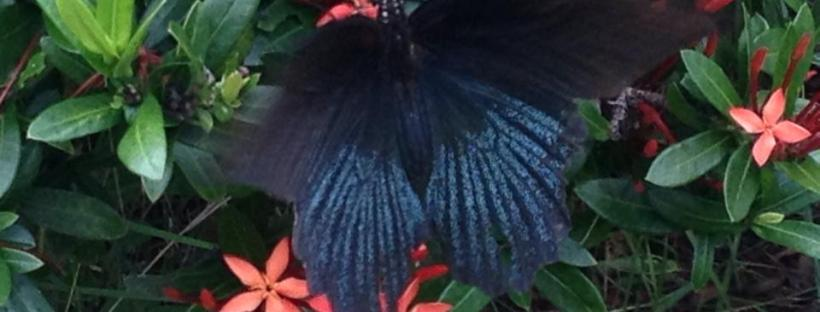 thailand butterfly