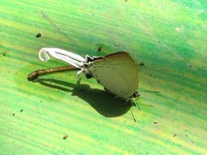 thailand butterflies