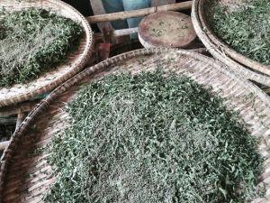 silk worms cambodia