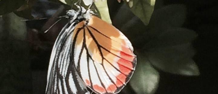 Cambodian butterflies