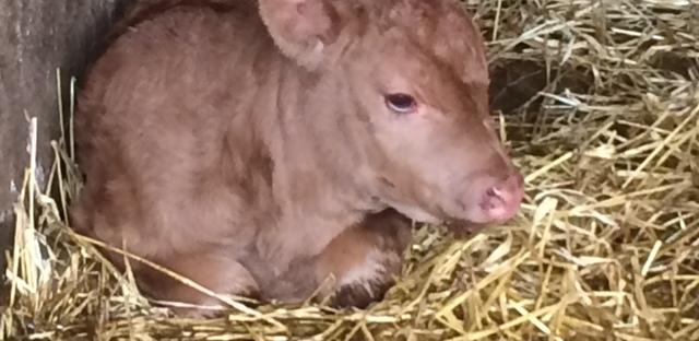 irish calf