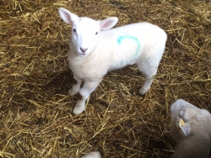 One of the spring lambs